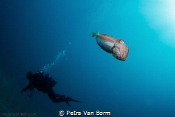 Diver crossing by a cuttlefish by Petra Van Borm